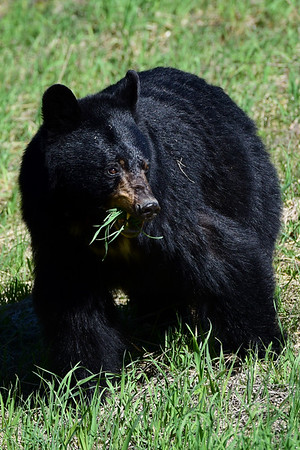 Black bear and his teeth
