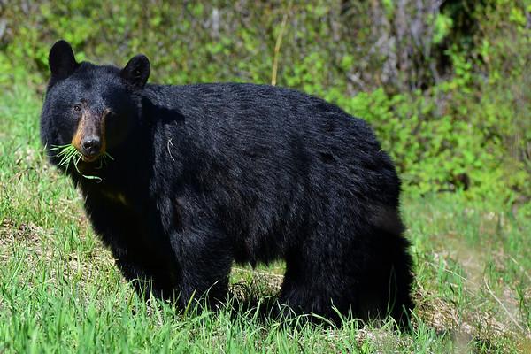 Bear eating Grass