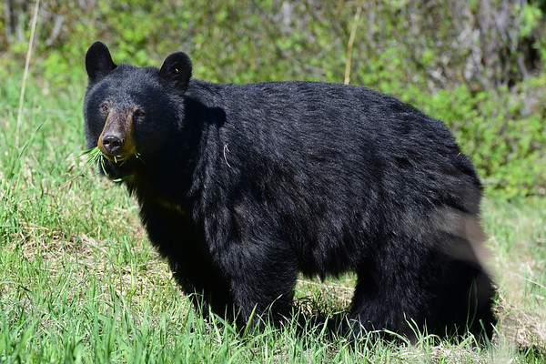 Black Bear with grass in mouth