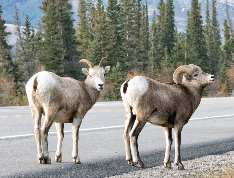 Bighorn Sheep outside of Jasper