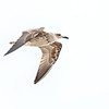 Great Black-backed Gull - Juvenile