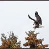 Bald Eagle- Prince Edward Island National Park