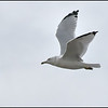 Ring-billed Gull-Saguenay River-Saguenay, Quebec, Canada