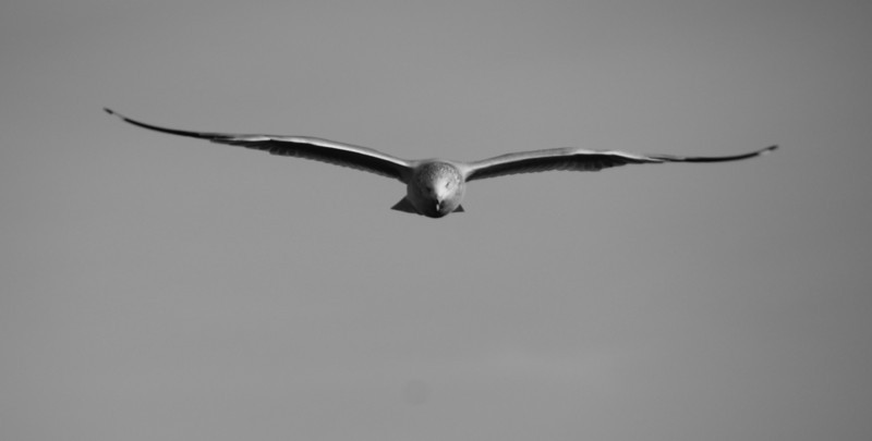 "<a href=""http://nomadicsamuel.com"">http://nomadicsamuel.com</a> : Daily travel photo of a seagull in mid flight with its wings fully extended along the Saint John River - Fredericton, New Brunswick - Canada."
