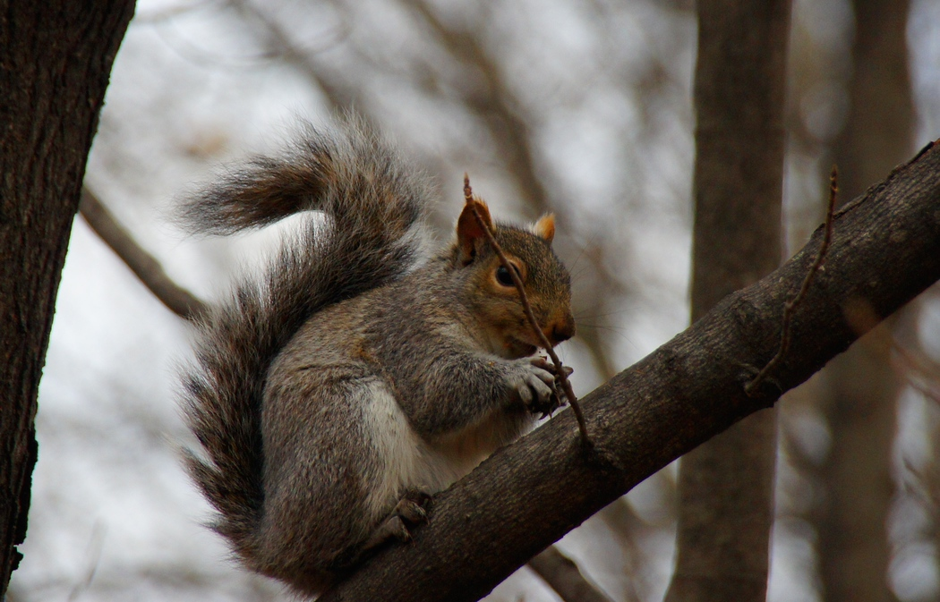 A travel photo of a squirrel with a nut on perched on the branch of a tree - Fredericton, New Brunswick.  Travel photo from Fredericton, Canada.