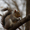 "A travel photo of a squirrel with a nut on perched on the branch of a tree - Fredericton, New Brunswick.  Travel photo from Fredericton, Canada. <a href=""http://nomadicsamuel.com"">http://nomadicsamuel.com</a>"