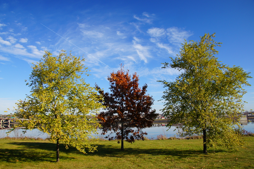 Colourful maple trees in fall along the Saint John River - Fredericton, New Brunswick.  Travel photo from Fredericton, New Brunswick - Canada.