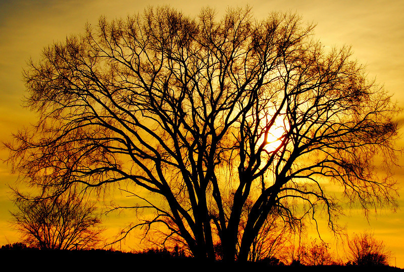 "This enormous elm tree is rendered into a silhouette during sunset in Fredericton, New Brunswick.  Travel photo from Fredericton, New Brunswick - Canada. <a href=""http://nomadicsamuel.com"">http://nomadicsamuel.com</a>"