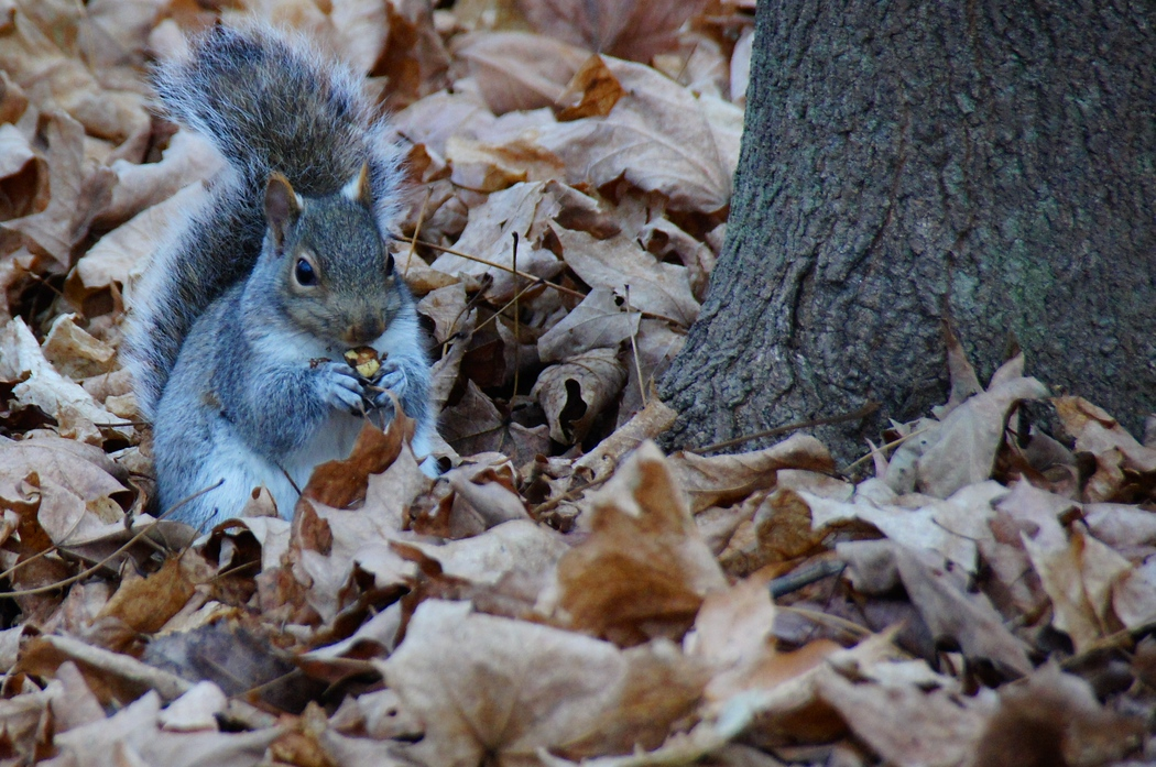 A squirrel with a nut in its hand on a cool fall afternoon - Fredericton, New Brunswick.  A travel photo from Fredericton (New Brunswick) Canada.