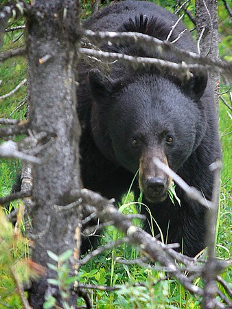 Black Bear in Jasper National Park