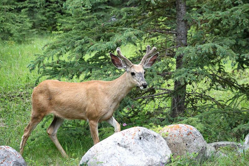 A curious deer