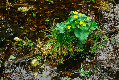 Bloodvein River.  Marsh Marigolds (Caltha palustris).