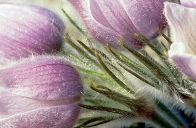 Pasqueflower, Prairie crocus, (Pulsatilla patens)
