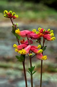 Bloodvein River.  Pink corydalis (Corydalis sempervirens)