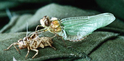 A dragon fly pupates