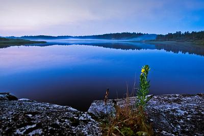 Yellow evening primrose,  Pigeon River