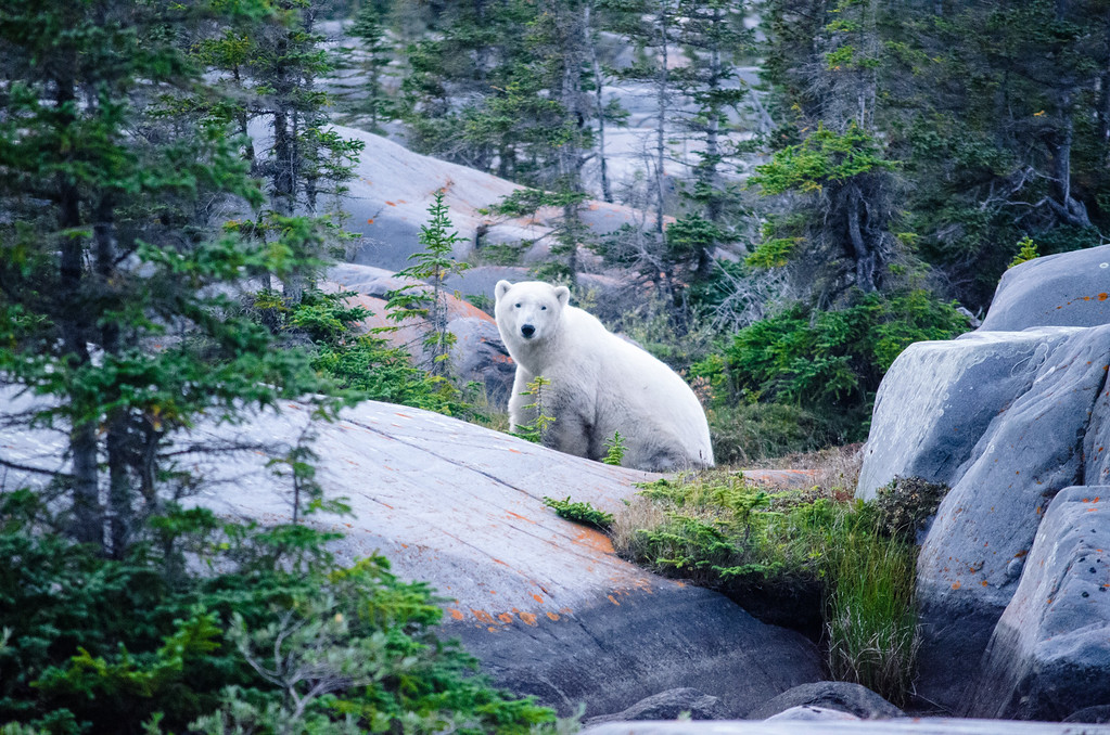 Polar Bear sighting in Churchill, Manitoba