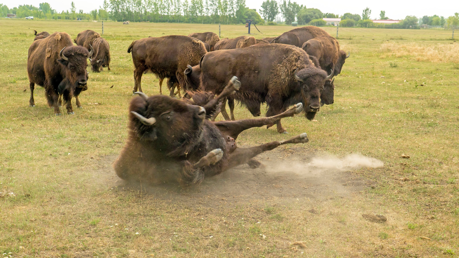 Bison Safari at FortWhyte Alive, Winnipeg - Things to Do in Winnipeg: A Couples Getaway Guide