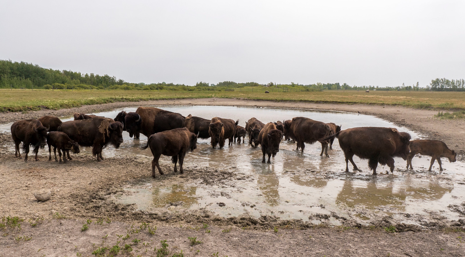 Bison Safari at FortWhyte Alive - Things to Do in Winnipeg: A Couples Getaway Guide