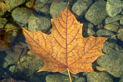 A Canadian Maple Leaf - Montreal, QC ... October 8, 2006 ... Photo by Rob Page III
