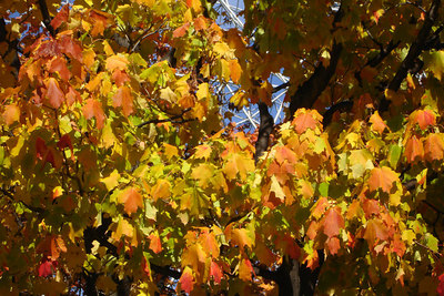 The maple tree is starting to change colors - Montreal, QC ... October 8, 2006 ... Photo by Rob Page III