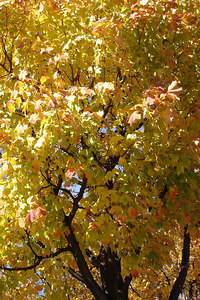Fall foliage - Montreal, QC ... October 8, 2006 ... Photo by Emily Conger
