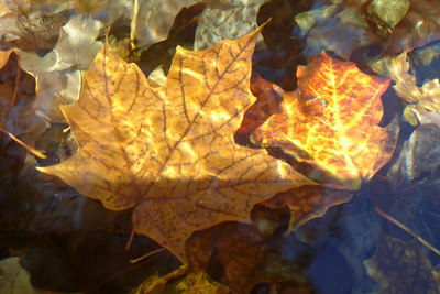 A maple leaf - Montreal, QC ... October 8, 2006 ... Photo by Rob Page III