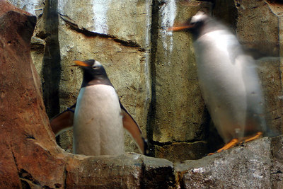 The penguins at the Biodome in Olympic Park - Montreal, QC ... October 8, 2006 ... Photo by Rob Page III