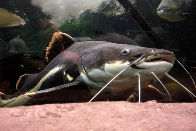 A giant catfish at the Biodome in Olympic Park - Montreal, QC ... October 8, 2006 ... Photo by Rob Page III