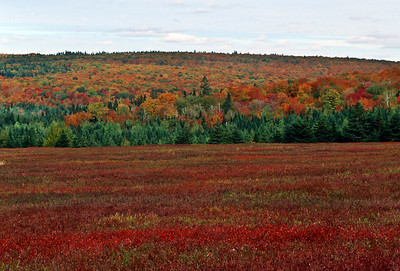 Blueberries and autumn color, Fundy Bay Coastal Drive