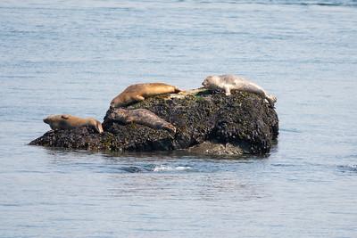 Seals near Campobello Island, on the Bay of Fundy