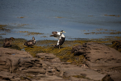 Eider Ducks in the Bay of Fundy near St. Andrews, NB