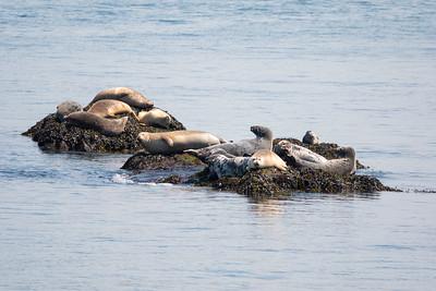 Seals near Campobello Island, in the Bay of Fundy