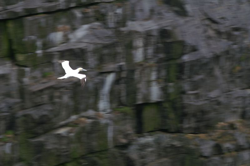 A Northern Gannet coming in for a landing on Bird Rock in Cape St Mary's.