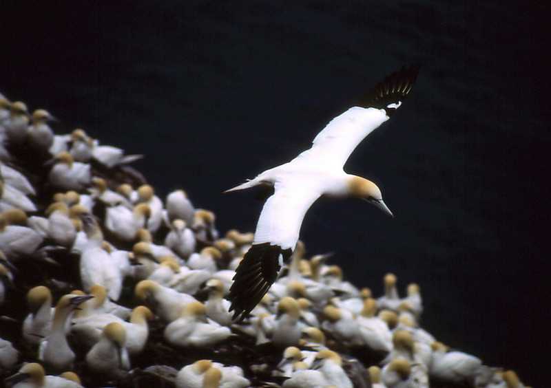 Gannet, Cape St. Mary's