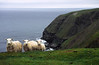Sheep, Cape St. Mary's