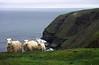Sheep, Cape St. Mary's