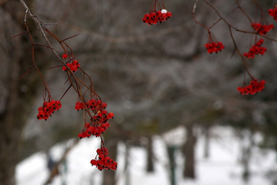 Some of the berries are still out - Niagara Falls, NY ... December 23, 2008 ... Photo by Rob Page III