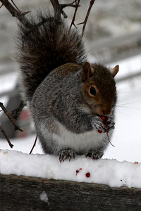 A squirrel - Niagara Falls, NY ... December 23, 2008 ... Photo by Rob Page III