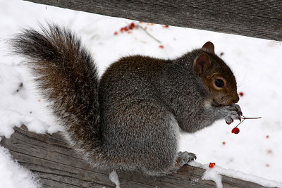 Getting in a few more berries before hibernation - Niagara Falls, NY ... December 23, 2008 ... Photo by Rob Page III