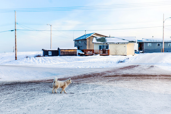 Dog strolling in Dettah First Nations Community