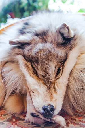 Wolf skin and head