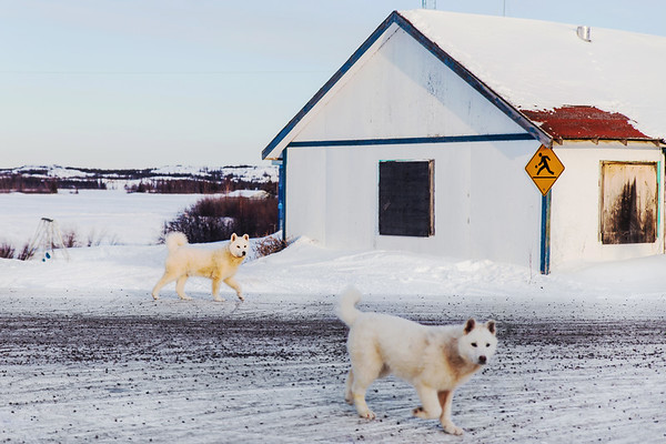 Dogs wandering in Dettah First Nations Community close to Yellowknife