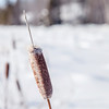 Cattail during winter time in the nature