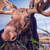 Moose at The Prince of Wales Northern Heritage Centre in Yellowknife
