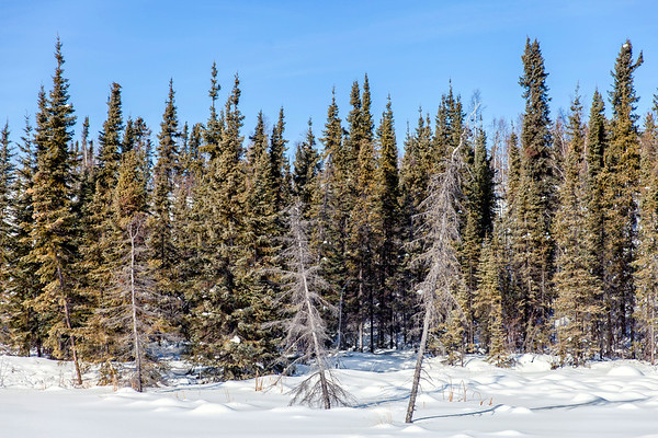 Forest in Yellowknife