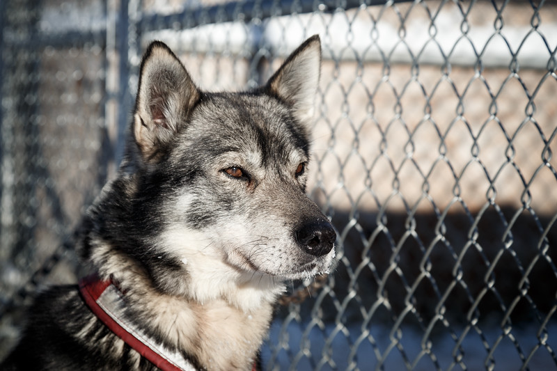 Yellowknife, Town - Husky sled dog staring confidently