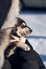 Yellowknife, Town - Sled dog puppy