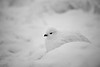 Yellowknife, Town - Ptarmigan in a snowstorm