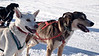 Yellowknife, Town - Sled dogs getting ready to run